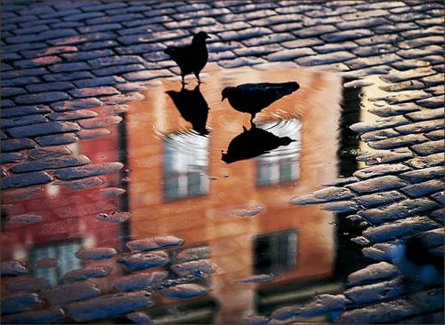 pigeons .