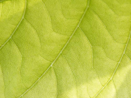fresh_leaf_1