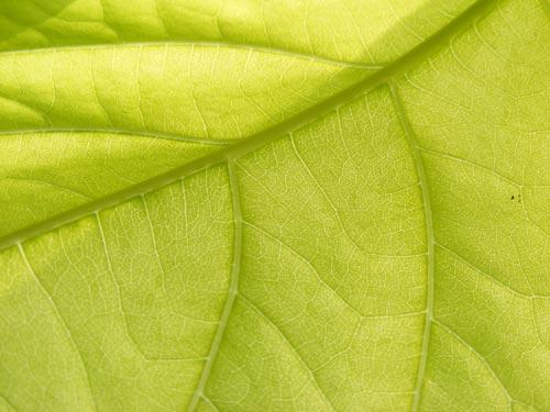 fresh_leaf_2