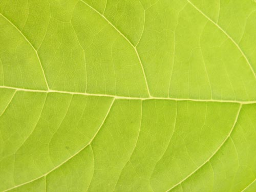 fresh_leaf_3