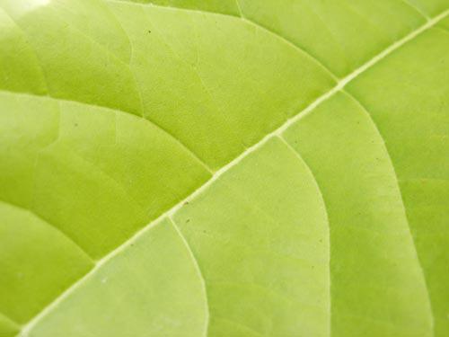 fresh_leaf_4