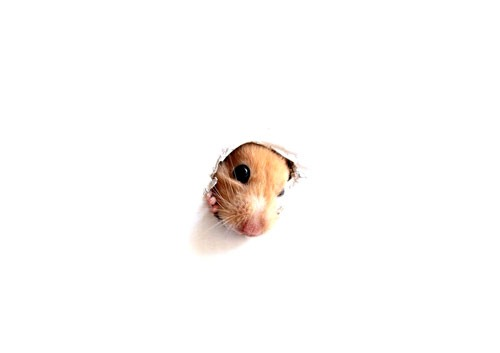 hamster_pops_by_velisianna-d35k5my