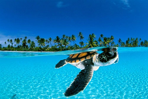 baby-green-sea-turtle-french-polynesia