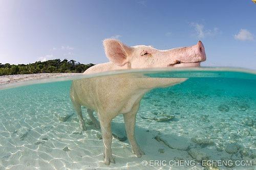 split-pig-bahamas