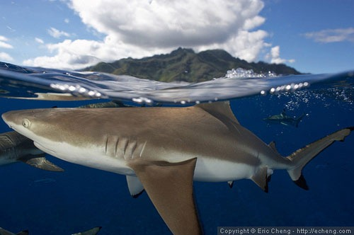 split-shot-of-black-tip-reef-shark