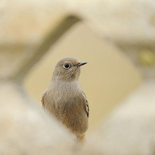 black-redstart-phoenicurus-ochruros